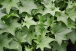 German Ivy Green