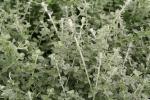 Helichrysum petiolare Minus