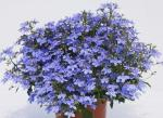 Lobelia Hot Waterblue