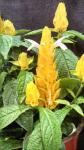 Pachystachys Lutea-Gold. Shrimp Plant