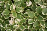 Plectranthus coleoides Variegated