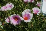Portulaca grandiflora Samba Bicolor