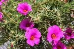 Portulaca grandiflora Samba Hot Pink