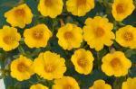 Portulaca Pazzaz Vivid Yellow
