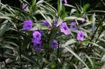 Ruellia Purple Showers (Mex. Petunia)