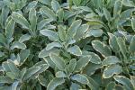 Salvia officinalis Icterina (Golden)