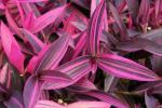 Setcreasea Purple Variegated