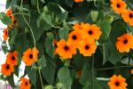 Thunbergia Sunny Susy Red-Orange