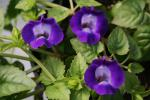 Torenia Coolaris Dark Blue