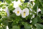 Torenia White Moon