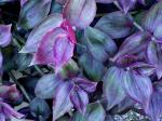Tradescantia Purple (Wand. Jew)