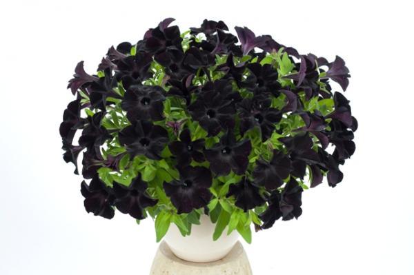 Petunia Ray Black