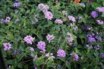 Lantana montevidensis Purple Trailing