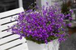 Lobelia Hot Purple