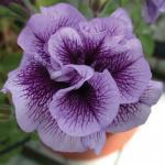 Petunia Glow Double Purple Vein
