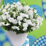 Petunia Glow Double White