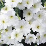 Petunia Glow Snowy White