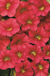 Calibrachoa Calitastic Red Lips