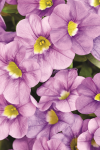 Calibrachoa Calitastic Violet Skies