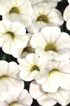 Calibrachoa Calitastic White