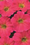 Petunia Hells Flamin' Rose