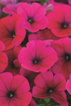 Petunia Hells Glow