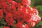 Verbena Estrella Red