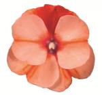 New Guinea Imp. Impacio Orange Star