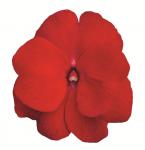 New Guinea Imp. Impacio Red