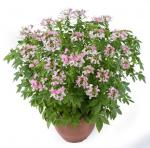 Cleome Clio Pink Lady