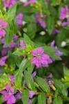 Cuphea hyssopifolia Floriglory Alonso