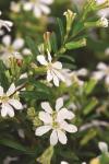 Cuphea hysspoifolia Floriglory Maria