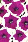 Petunia Big Deal Pinkadilly Circus