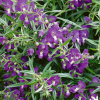 Angelonia Angelos Trailing Blue