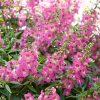 Angelonia Angelos Trailing Pink