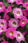 Calibrachoa Chameleon Pink Diamond