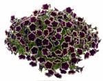 Petunia Cascadia Rim Magenta
