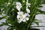 Angelonia Angelwings White