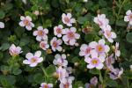 Bacopa Scopia Great Pink Ring