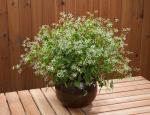 Euphorbia Diwali Shower