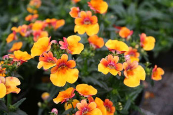 Nemesia-Nemesis-Red-Fancy.jpg